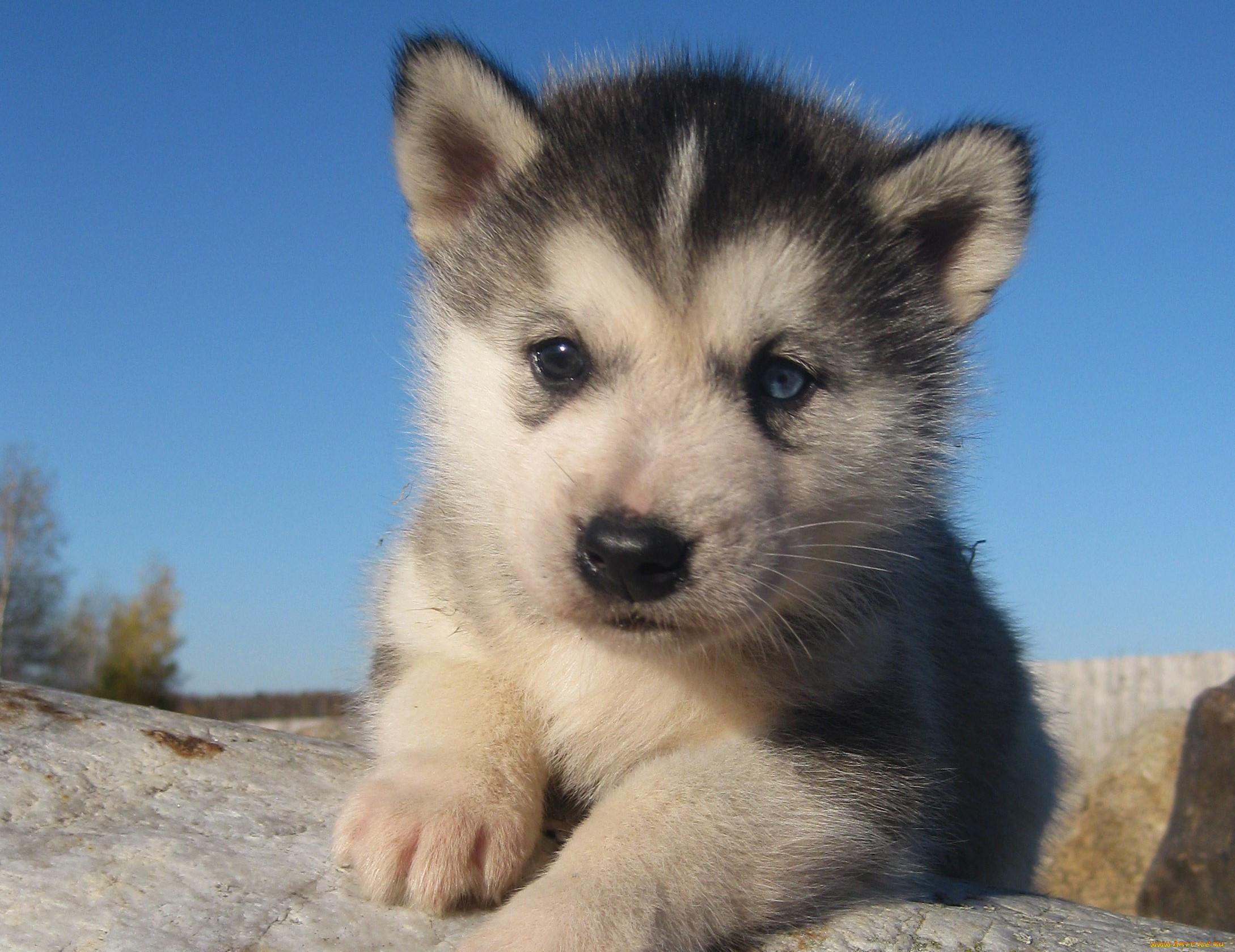 Картинки лайка щенок